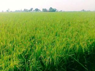Agricultural Land 4 Acre 24 Marla زرعی زمین سیالکوٹ